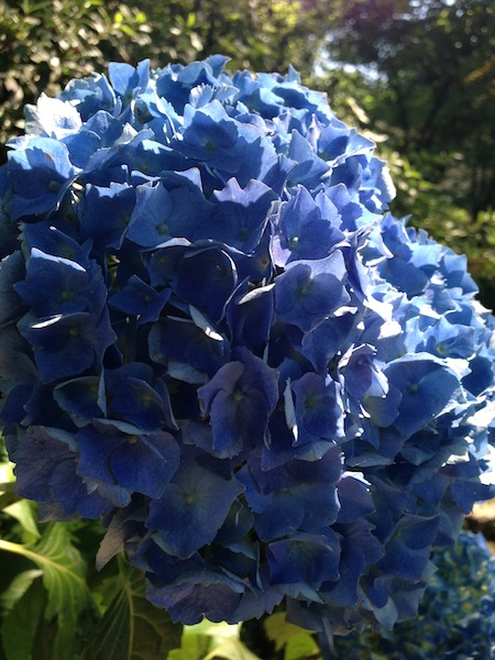 three_aveledahydrangea-jpg
