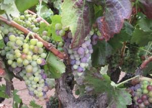 Zinfandel grapes undergoing veraison