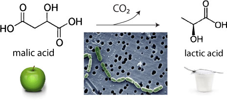 Malolactic bacteria convert sharp malic acid into softer lactic acid, releasing CO2 along the way.  Inset, <em>Oenococcus oeni</em>.