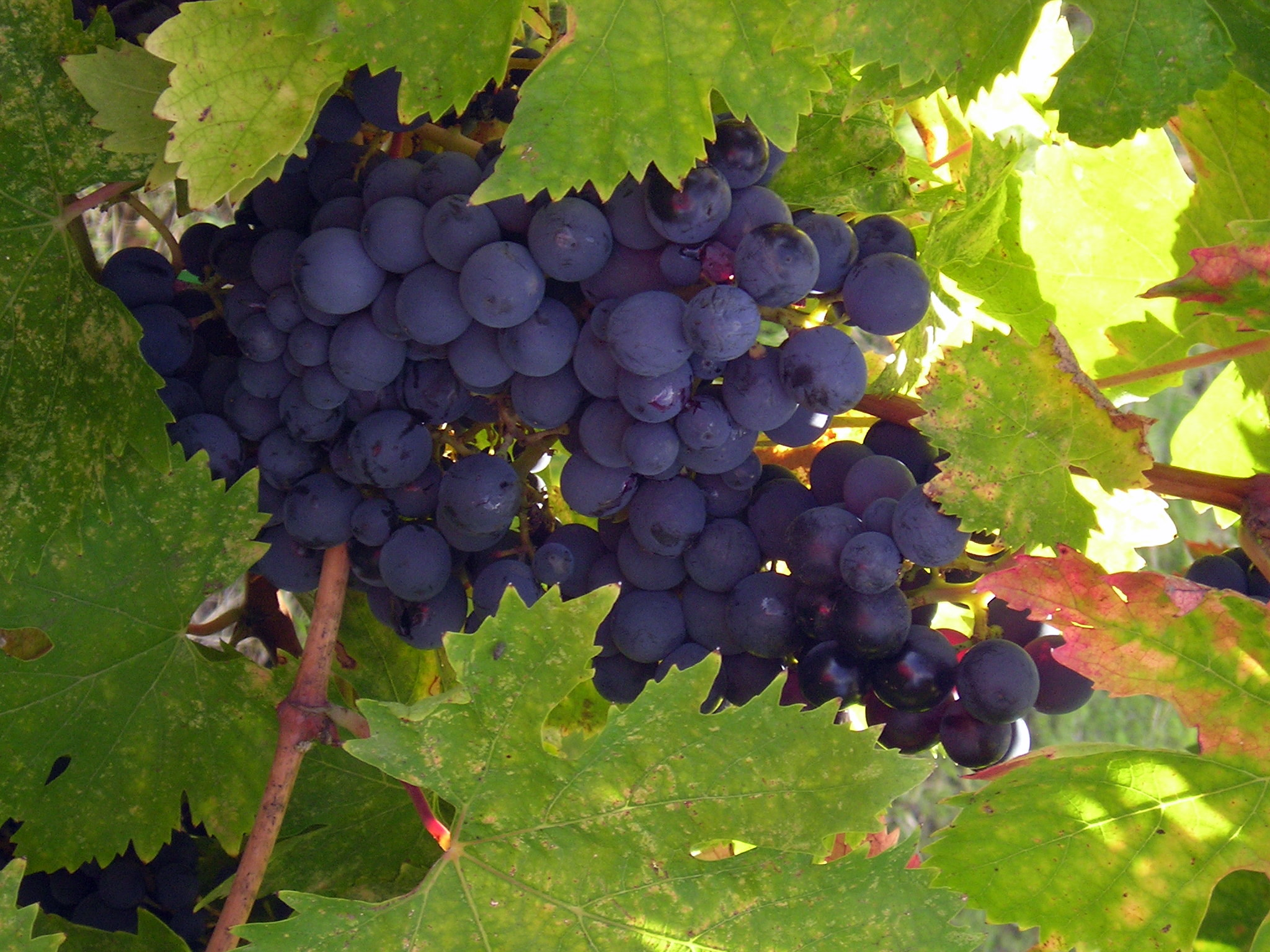 Image result for grapes in america