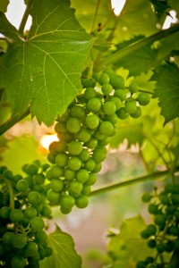 Grapes at Bellview Winery