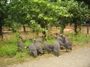 Guinea Hens eat bugs in the vineyard at Tres Sabores in St. Helena, California