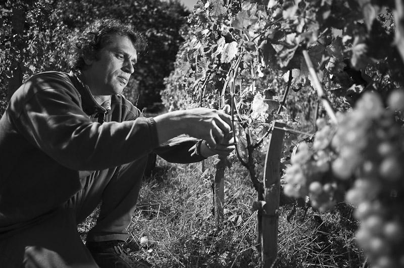 Lavrenčič in the vineyard (photo: Marijan Mocivnik)