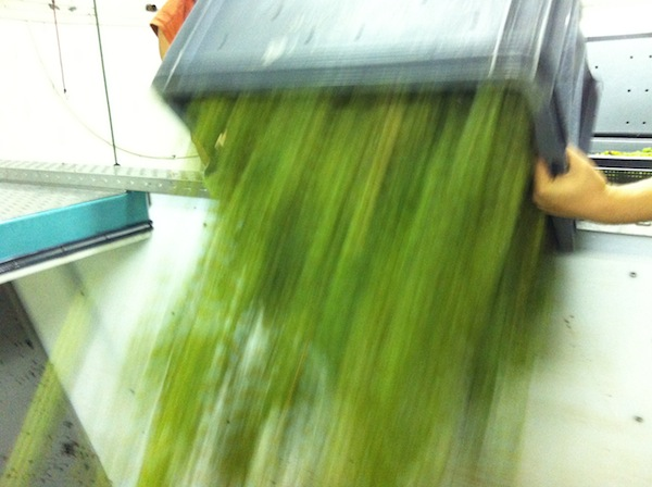 Loading the new Coquard press at Champagne Tarlant with Chardonnay