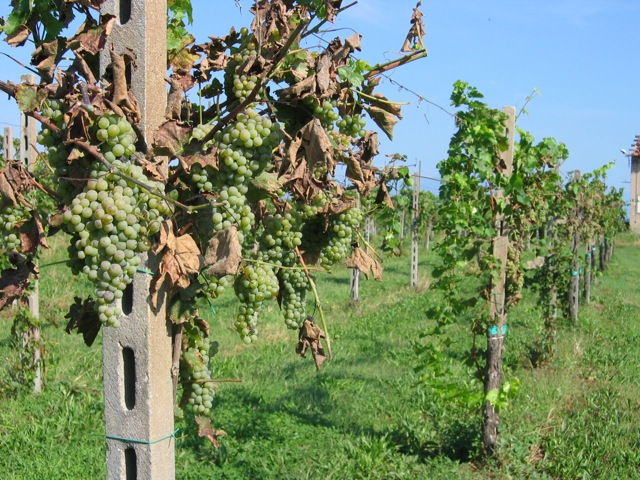 grappoli di Turbiana