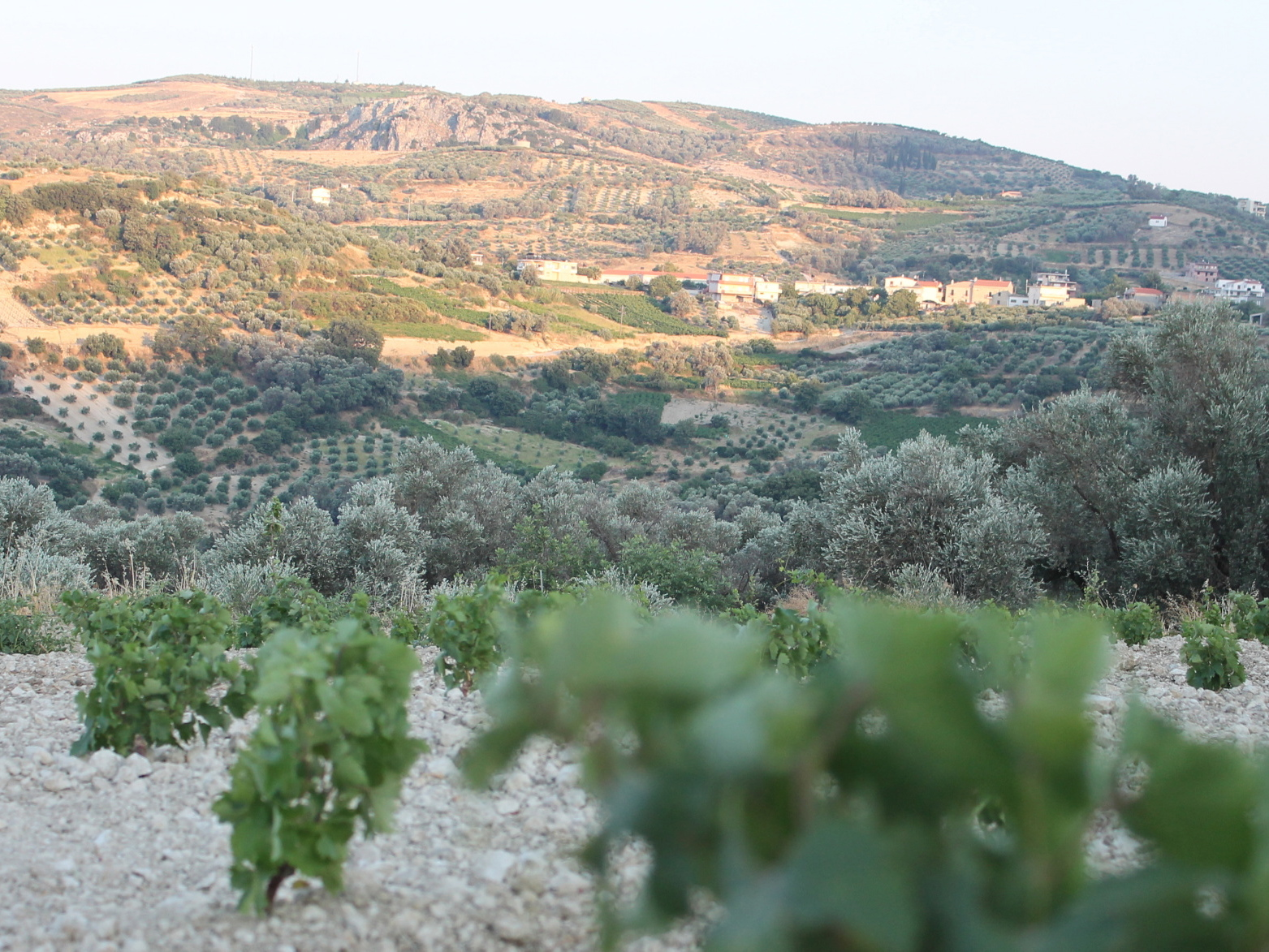 Olive trees among the vines in Crete