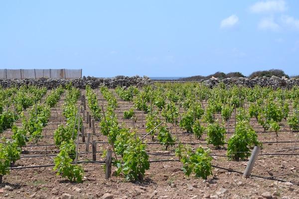 Kamens Favignana Vines
