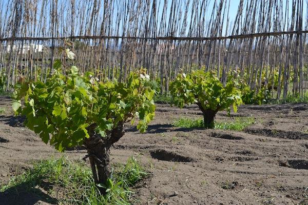Kamens Pantelleria Older Vines