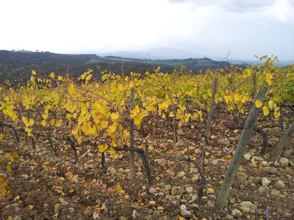 Sangiove vines