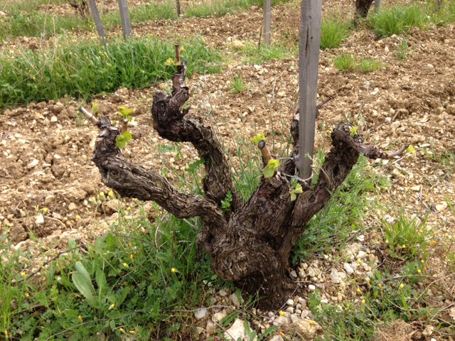 143-year-old vines