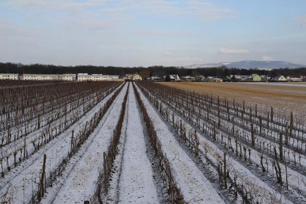 tattendorf vineyard