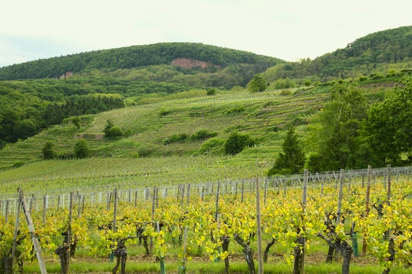vineyards near eguisheim - alsace