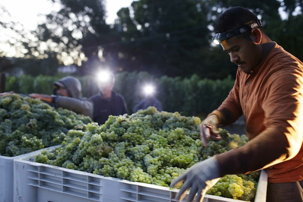 to pick Sauvignon Blanc grapes at Ehlers Estate winery Wednesday, Aug. 28, 2013 in St. Helena, Calif.  Harvest is underway in the Napa Valley with the picking of grapes for white and sparkling wine. (AP Photo/Eric Risberg)