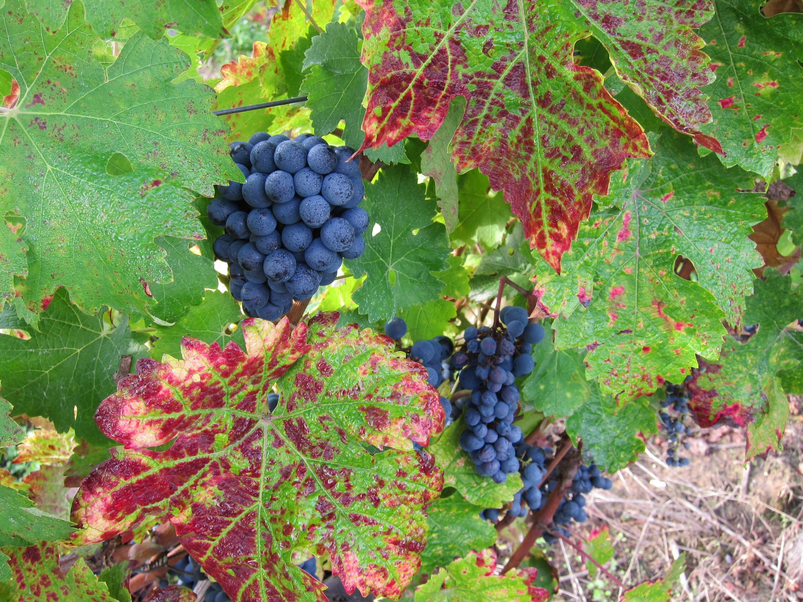 bordeaux merlot grapes