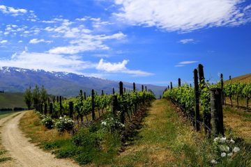 Vines growing at Northburn Station in the Central Otago district. (photo: Michelle Locke)