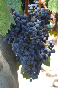 Mario-Bazan-Cabernet-Grapes-vertical