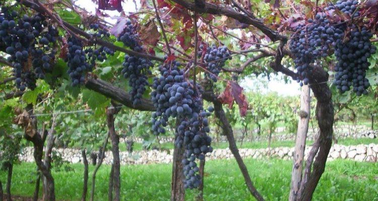 Spigamonti vitigno Cantina Valpolicella Negrar