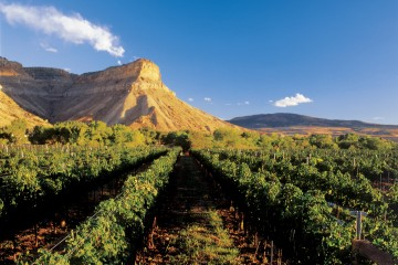 Grapes grow under the mesa in Palisade, Colorado.