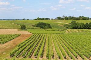 Vineyards in Quarts-de-Chaume