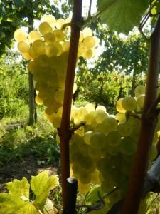 Chardonnay San Floriano