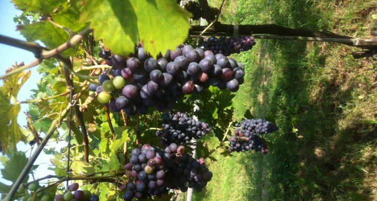 tough harvest Grappoli corvina Marano (1)