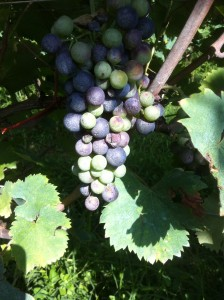 tough harvest half ripening2014
