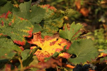 autumn colours in baulos charmes vineyard