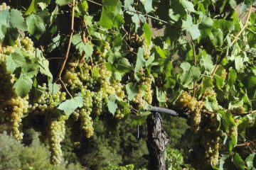 Pecorino-Mother-Vineyard_2