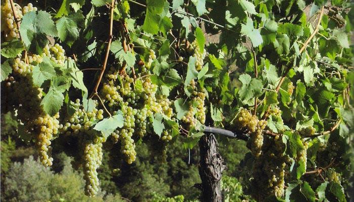Pecorino-Mother-Vineyard_2