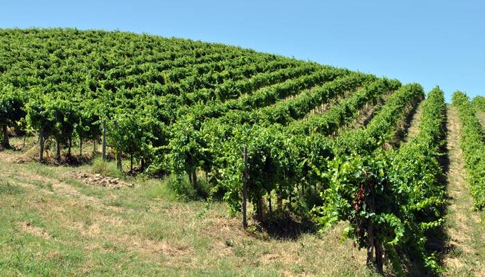 Pecorino-vineyard-Tenuta-Cocci-Grifoni