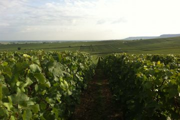 vazart cocqart vineyard before harvest