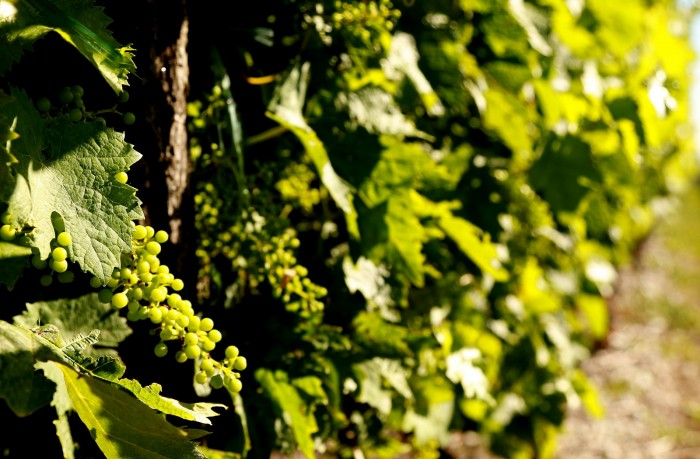 Ugni blanc grapes, one of three varieties that can be used to make Cognac.