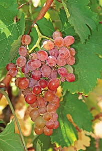 Roditis berries (photo: newwinesofgreece.com)