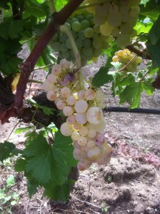 Grillo grapes