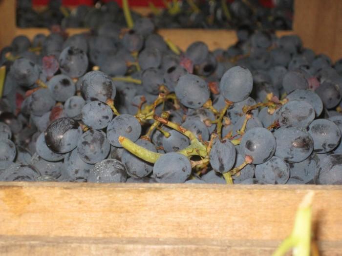 drying grape