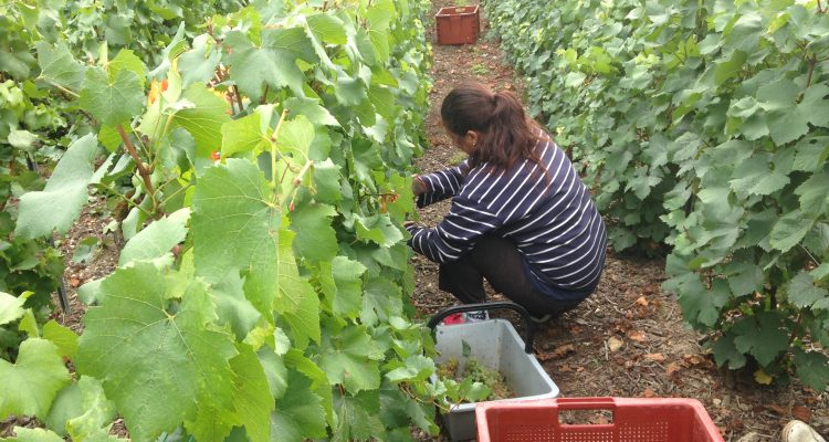 Picking grapes in the Clos Ste. Sophie