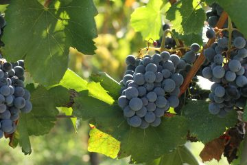 blatina grapes ripening at Marjarnovic