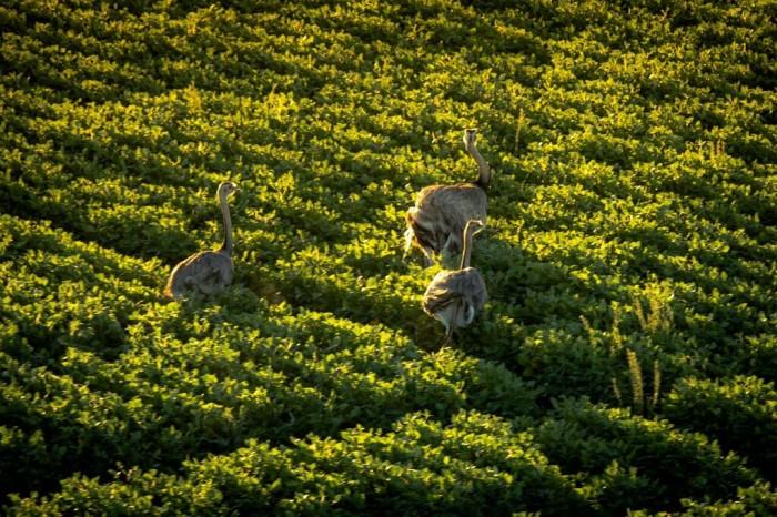 Emus roam at Bodega Garzón