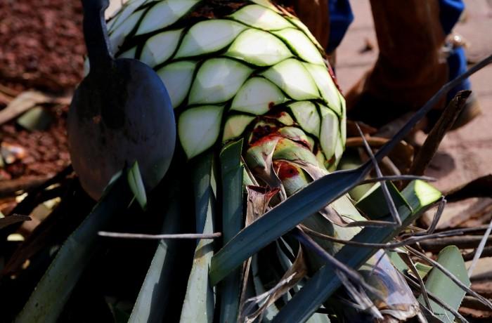 patron-cutting-agave-pinas