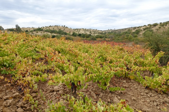 primitive vineyard