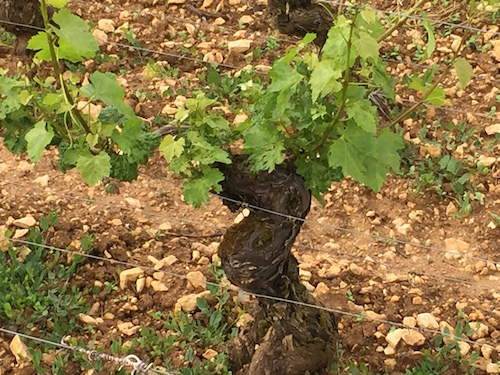 Meursault: Goutte d'Or - Domaine Buisson-Charles (photo: Scott Paul, Caveau Selections)