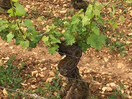 Meursault: Goutte d'Or - Domaine Buisson-Charles (photo: Scott Paul, Caveau Selections)
