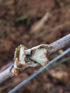 Frost damage in Gevrey Chambertin (photo: Virginie Taupenot, Domaine Taupenot-Merme)