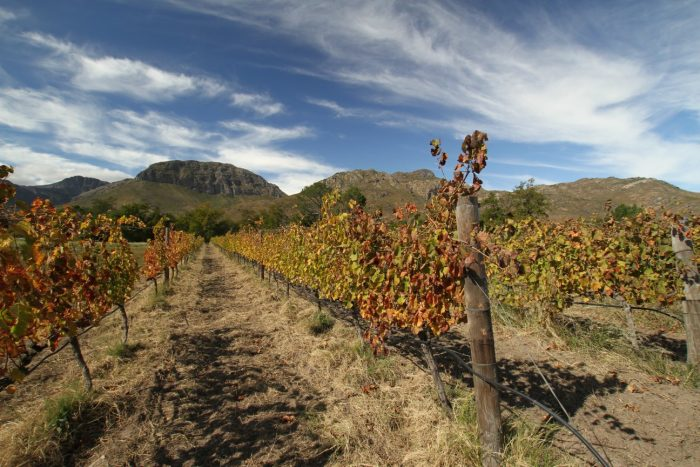 Avondale Estate - vines and mountains. Photo (c) Simon Woolf