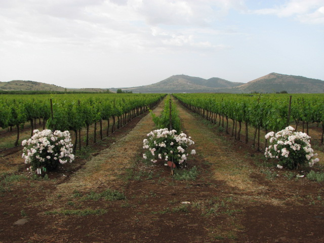 El Rom Vineyard