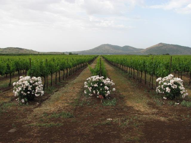 El Rom Vineyard