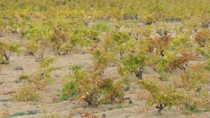 cannonau-bush-vines-just-harvested-in-sardinia