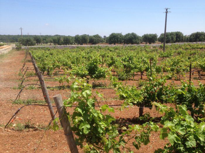 Vineyards in Puglia