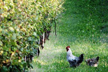 biodynamic-viticulture
