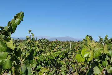 Montes-Zapallar-Vineyards